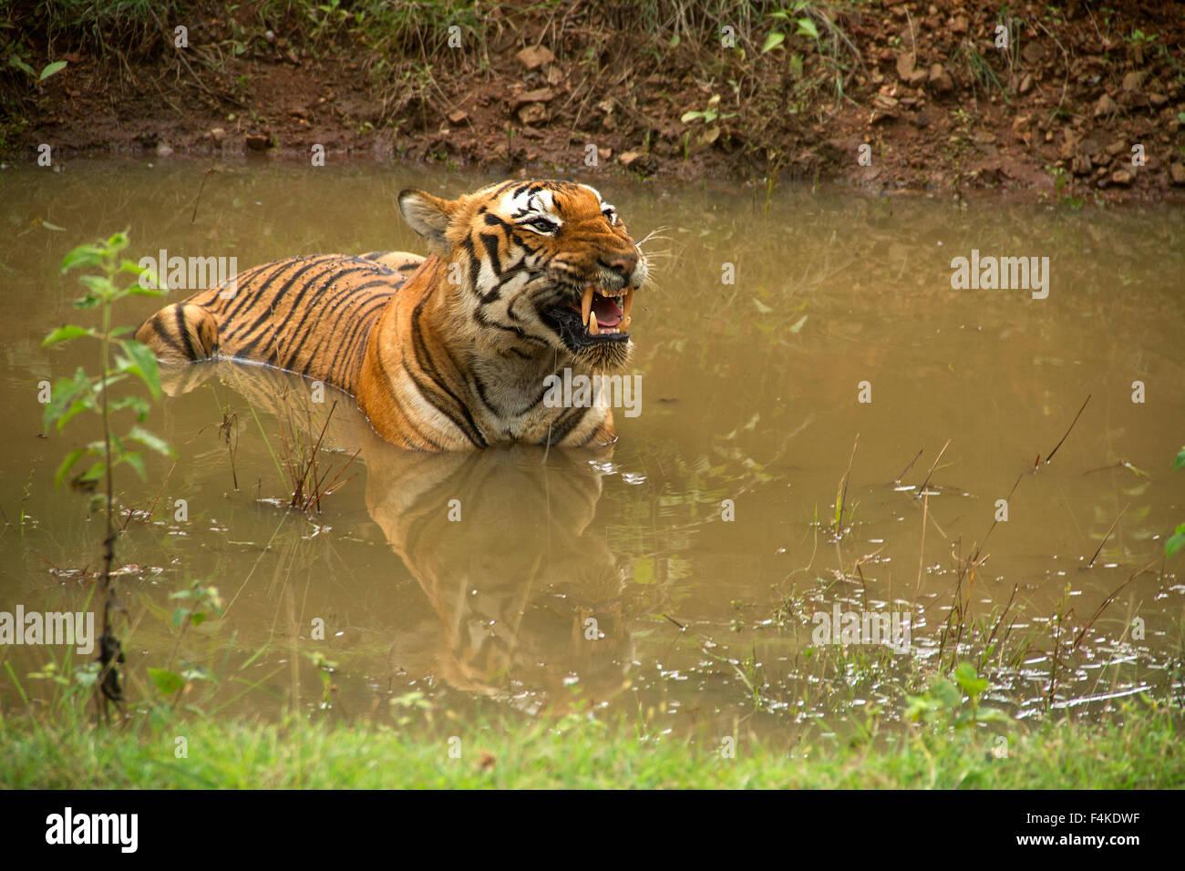 tigers in the mud epub